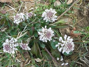 Penízek modravý, populární rostlina akumulující těžké kovy. Kredit: Konrad Lackerbeck / Wikimedia Commons.