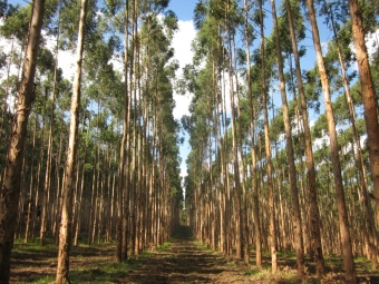 Plantáž blahovičníků poblíž Capão Bonito, Brazílie. Kredit: International Forestry Resources & Institutions.