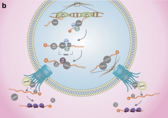 Komponenty procesu exportu mRNA u toxoplazmy. Kredit: Ávila et al. (2018).