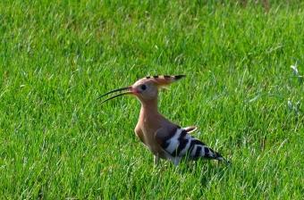 Jedním ze studovaných ptáků byl i dudek chocholatý. Kredit: CC0 Creative Commons.
