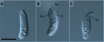Mikrofotografie nového diplonemida Diplonema aggregatum. Kredit: Tashyreva et al. (2018), mBio