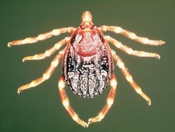 Klíšť rodu Hyalomma, přenašeč viru CCHFV. Kredit: Alan R Walker / Wikimedia Commons.