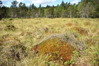 Odumřelé stélky rašeliníku hnědého (Sphagnum fuscum) se rozkládají velmi pomalu a vytváří tak na rašeliništích vysoké bulty. Kredit: T. Hájek.