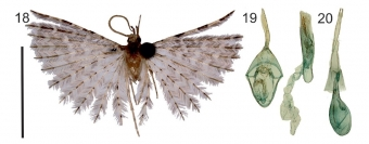 Pernatěnka Janečkova, nový druh pro vědu, Alucita janeceki. Kredit: Ustjuzhanin et al. (2018).