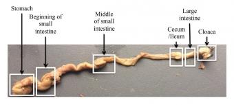 Trávicí soustava medáčka žlutolícího, od žaludku po kloaku. Kredit: Bodawatta et al. (2018).