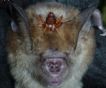 Netopýr pavrápenec z Ghany s muchulí na hlavě Kredit: (2018).