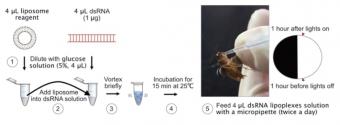 Schéma krmení švábů molekulami dsRNA v lipozomech. Kredit: Huang et al (2018).