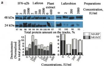 Analýza exprese proteinů MGMT a MARP v lidských buňkách Hep-2, metodou Western blot.