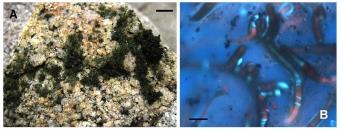 Porost a buňky nově popsané sinice Phyllonema ansata. Kredit: González-Resendiz et al. (2018) Journal of Phycology.