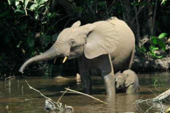 Slon pralesní. Kredit: Thomas Breuer / Wikimedia Commons.