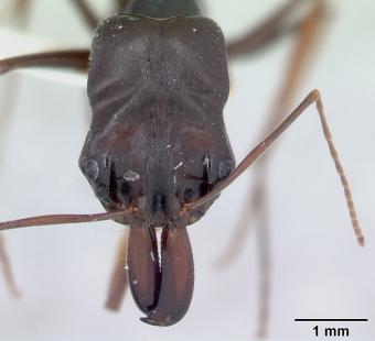 Hlava mravence Odontomachus assiniensis s nepřehlédnutelnými kusadly. Kredit: April Nobile / Wikimedia Commons.