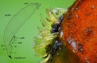 Parazitická houba roztřepenka Hesperomyces virescens na slunéčku východním. Kredit: Haelewaters et al. (2018).