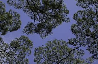 Koruny tropických stromů na Borneu. Kredit: Mark J. Fisher / Wikimedia Commons
