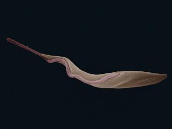 Trypanozoma spavičná (Trypanosoma brucei) na snímku rastrovacího elektronového mikroskopu. Kredit: Zephyris / Wikimedia Commons.