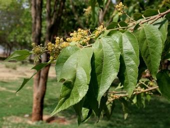 Guazuma ulmifolia. Kredit: J.M.Garg / Wikimedia Commons.