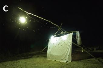 Chytání nočních motýlů v Gabonu na světlo. Kredit: Delabye et al. (2019), Genome.