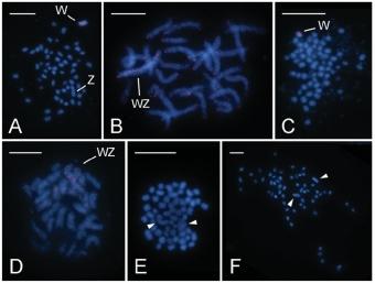 Cytogenetická analýza studovaných můr. Kredit: Paladino et al. 2019.