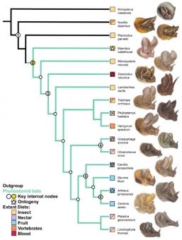 Fylogeneze a diverzita lebek neotropických netopýrů listonosů. Kredit: Camacho et al. (2019), Developmental Dynamics.