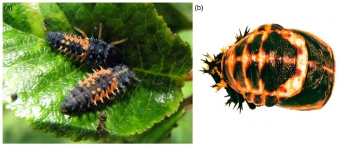 Larvy a kukla slunéčka východního. Kredit: Aslam et al. (2019), Ecological Entomology.