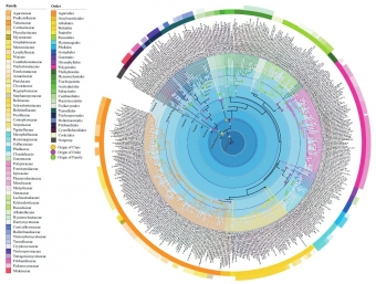 Fylogenetické vztahy v rámci podkmene Agaricomycotina. Kredit: He et al. (2019), Fungal Diversity.