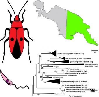Fylogeneze trypanosom hmyzu na Papui. Kredit: Králová et al. (2019), International Journal for Parasitology.