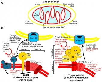Porovnání komplexu MICOS u kvasinky (vlevo) a trypanosomy (vpravo) Kredit: Hashimi (2019), PLoS Pathogens.