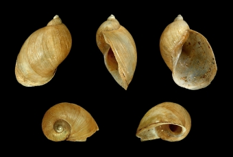 Uchatka Radix balthica. Kredit: H. Zell / Wikimedia Commons.