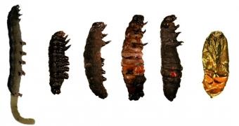 Příklady hmyzu usmrceného v různé fázi vývoje. Kredit: Shaik et al. (2020), Journal of Applied Entomology.