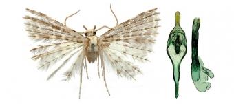 Alucita zuza. Jedna z nově objevených pernatěnek Kamerunské hory. Kredit: Ustjuzhanin et al. (2020).
