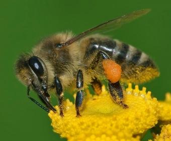 Včela medonosná (Apis mellifera). Kredit: Andreas Trepte / Wikimedia Commons.