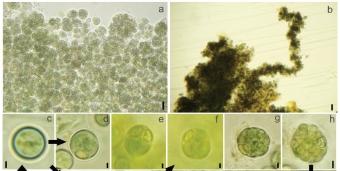 Komarekiella atlantica. Kredit: Hentschke et al. (2017) Fottea.