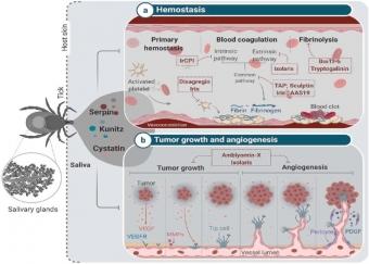 Příklady inhibitorů proteáz ze slinných žláz klíštěte. Kredit: Jmel et al. (2021).