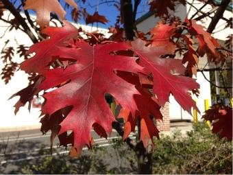 Dub červený na podzim. Kredit: Famartin / Wikimedia Commons.