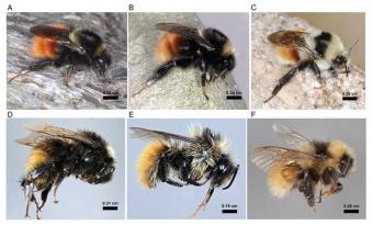 Čmeláci z příbuzenstva čmeláka horského. Kredit: Martinet et al. (2018), Systematic Entomology.