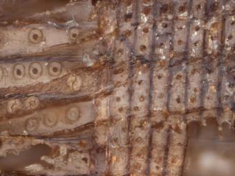 Egypt, Abusír - Mikrofotografie dřeva z cedrové zátky láhve.