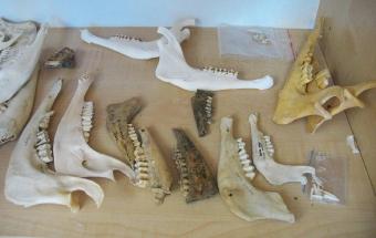Ukázka srovnávací osteologické sbírky využívané při archeozoologické analýze.