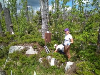 Měření mineralizace organické hmoty v terénu pomocí sítěk s celulózou. Trvalá výzkumná plocha v přirozeném zmlazení po kůrovcové kalamitě v povodí Plešného jezera na Šumavě.
