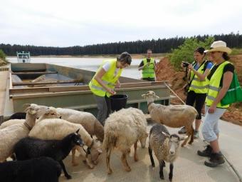 """Převoz ovcí na experimentální plochy na """"Klářině"""" ostrůvky v pískovně CEP II u Suchdola nad Lužnicí, kde studujeme vliv pastvy na průběh sukcese."""