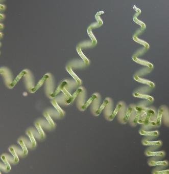 Mikrofotografie sinice Limnospira fusiformis prodávané v potravinových doplňcích a dalších produktech pod komerčním názvem spirulina. Kredit: Tomáš Hauer